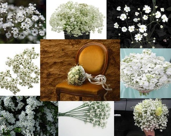 Baby's Breath (select 400 thru 25,000 seeds) gypsophila wholesale covent #62