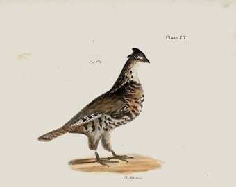 PARTRIDGE 1800 's Engraving New York Bird 1843 ANTIQUE Picture Print