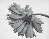 Black & White Gerber Flower Photography,Nature Print,Nature Photography,5x7,8x10,11x14,Wall Art,Nursery Art,UNFRAMED,Black and white,Daisy