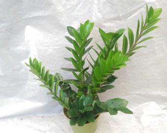 Zanzibar Gem - Zamioculcas Zamiifolia ZZ Plant in 6 Inch Pot