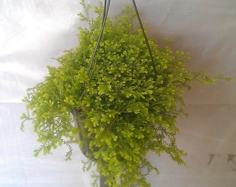 Selaginella Gold Tips Plant in 6 inch Hanging Pot.