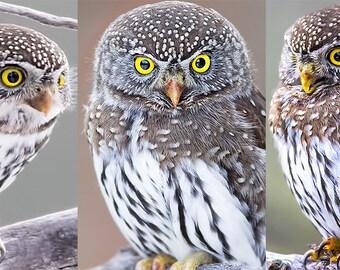 Owl Special Offer, Northern Pygmy Owl, Owl Sale, Owl Discount, Owl Deal, Owl Photos, Owl Prints, 5x7 prints, Nature Photos, Wildlife Photos
