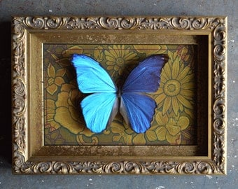 Blue Morpho(Didius) Butterfly Shadow Box Framed Insect Art