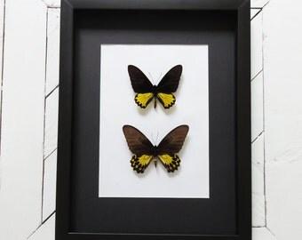 PAIR butterflies: Troides helena mannus // RARE // LARGE frame // birdwing butterflies // shadowbox // black & yellow butterfly