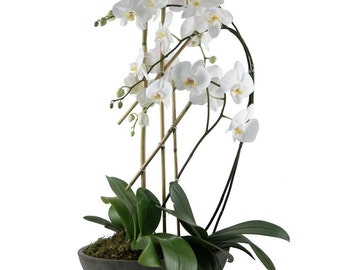 Triple orchids plant. LOCAL DELIVERY to: 33160, 33180, 33162, 33179, 33154, 33004, 33009, 33019, 33020, 33021, 33140