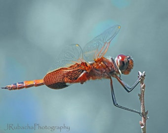 Red dragonfly, red saddlebags dragonfly in profile