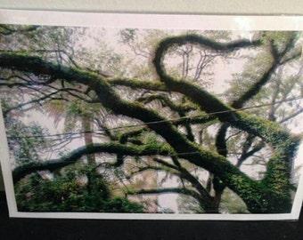 Double vision live oak
