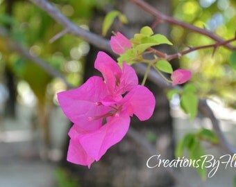 Maldives Pink Flower, Fuchsia, Canvas Art