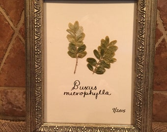 Framed botanical - boxwood