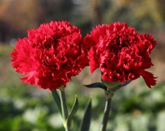 Red Carnation Chabaud Seeds