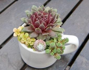 Coffee Cup Succulent Arrangement