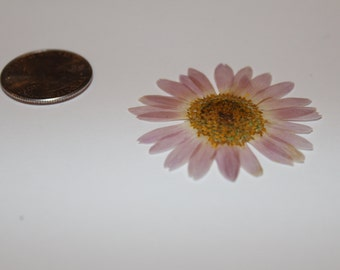 Natural Lavender Pressed Daisy