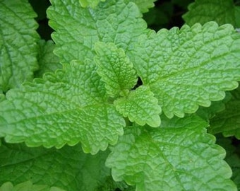 Lemon Balm (Melissa officinalis), dried leaf, organically grown bulk herbs