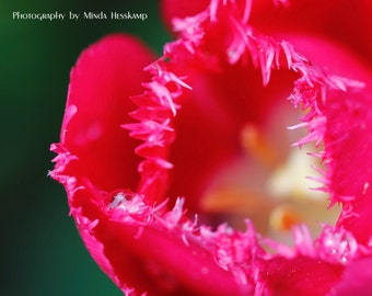 Frilled, red tulip photo, macro photography, wall art, gift for her, red flower, pink flower photo, close up flower, tulips, spring photo