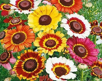 Painted Daisy Chrysanthemum Mix Flower Seeds/Annual  100+