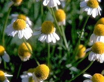 German Chamomile Daisy Flower Seeds/Matricaria Recutita/Annual   75+