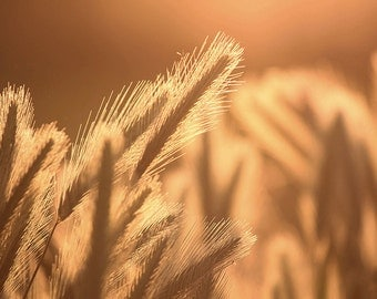 Art Photography: HARVEST GOLD, nature photography, country photography, country art, country landscape, country decor, farm photography,