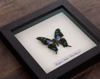 The Purple Spotted Swallowtail in Black Wooden Frame | Graphium Weiskei | Real Framed Butterfly | Taxidermy