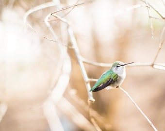 Hummingbird in the desert, Desert Southwest Fine Art