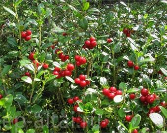LIVE plant nutrient rich berries Vaccinium vitis-idaea (Lingonberries; cowberies) very cold hardy broadleaf evergreen (-45.5 C (-50 F))