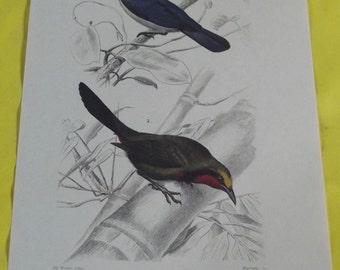 Displays School Zoology Birds Pie-Grièche Blue / Pie-Grièche Perrin in 1970.