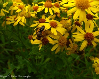 Bee on yellow daisy, photograph, nature photography