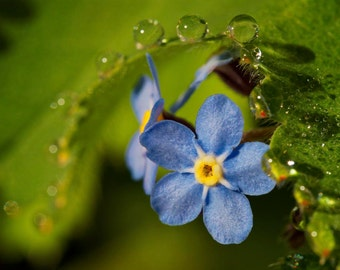 Blue Blossom With Waterdrops wall-deco (green, water, leaf, flower, FineArt)