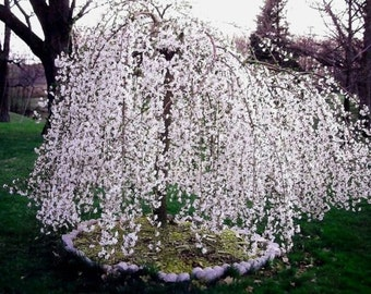 Weeping Cherry Tree - ( prunus x yeodensis shidare yoshino )