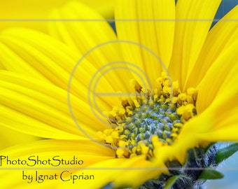 Topinambur, Yellow Flower, Printable Photography,  Instant Download, Photo Floral Printable, Topinambur Photography Yellow