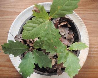 Oak tree seedlings