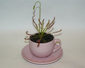 Carnivorous house plant in a teacup - Sundew (Drosera capensis)
