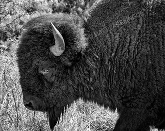Buffalo Grazing in Black and White - Caprock Canyons State Park Texas