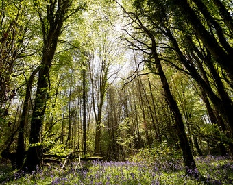 Bluebell forest - Print