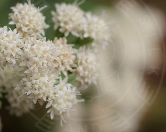 White Autumn Flowers