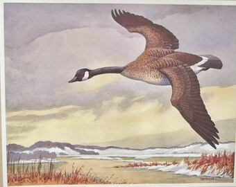 Vintage print of watercolour painting by T. M. Shortt, frameable colored print, gold-fronted Canada goose Carling Breweries, collectible