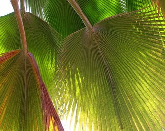 Fronds, photographic print