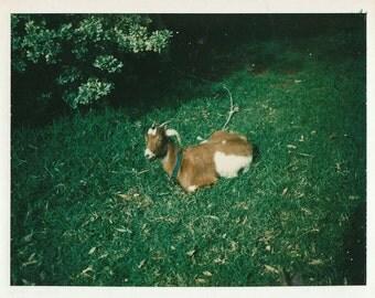 Orignal Vintage Color Polaroid Photograph Goat on Grass 1970s