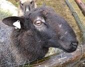 Borderleister sheep virtural adoption 3 months and get yarn or art batts