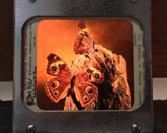 BUCKEYE BUTTERFLY - Vintage magic lantern glass slide light box