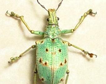 Real Framed Rare Lamprocyphus Germari Female Metallic Green Beetle 7701F
