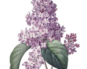 Large High Resolution Vintage French Lilac Printable Digital Image: Commercial Use - Image No. R20 Instant Download