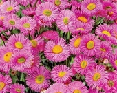 Pink Fleabane Daisy // Showy Fleabane Seeds // Organic Daisy Seed Packet with 100 Seeds