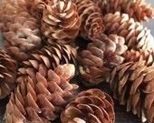 50 Natural Mini pine cones