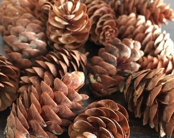 50 Natural Mini pine cones