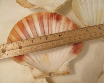 "5""+ Real Scallop Sea Shells - Wedding - Display - Art and Craft Supply - Party - Sea Food Serving - Server"