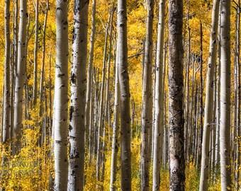 Aspen Gold III Fine Art Colorado Fall Color Print