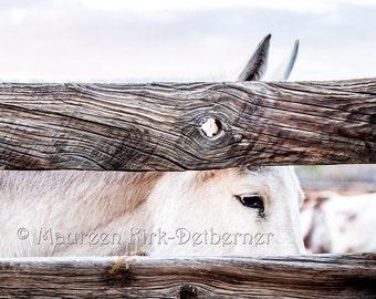 White mule photo, long ears photograph, ranch mule, old ranch fence, southwestern decor, western decor, mule lover gift, Arizona, FastWinn