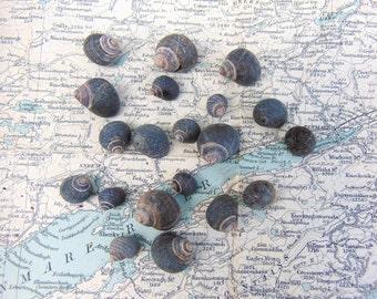 Irish Sea Shells Natural Seashells Small Black Beach Shells from Ireland Shells Craft Shells Shells for Crafts or Jewellery Jewelry Making