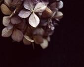 Dark Flower Photography, Hydrangea Print, Dried Flowers, Still Life Print, Black, Home Decor, Muted Faded Purple, 8x10 Print, From Darkness