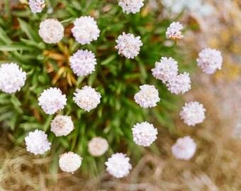 Flower Photo, Summer Beach, Summer Photography, Nature Photography, Landscape Photo, Summer Decor Print, Seaside Flora, Light Pink Flowers